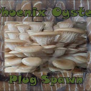 Phoenix Oyster Mushroom Growing Plug Spawn 50 Count